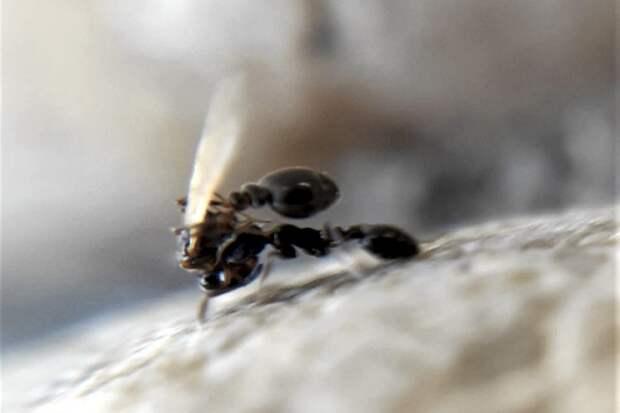Биологи наблюдали «сватовство» у муравьев