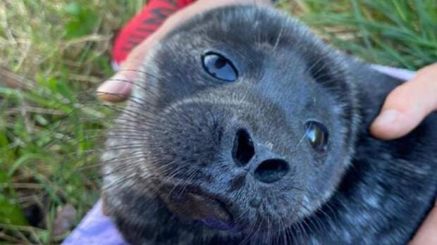 «Грустный худощавый мужчина»: в Ленобласти спасли ещё одну ладожскую нерпу