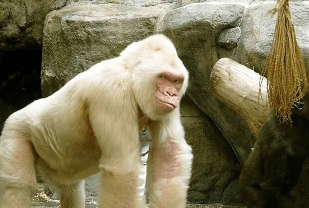 10. Горилла альбиносы, животные, красота, окрас, цвет