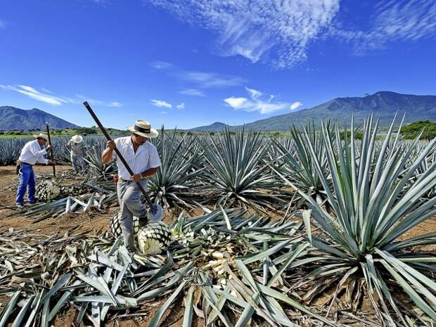Стопроцентной текилой может называться лишь продукт переработки сока из голубой агавы, выращенной в пяти мексиканских штатах