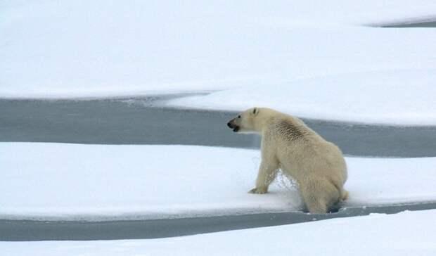 Ученые второй год подряд отправятся в Арктику для изучения популяции белых медведей