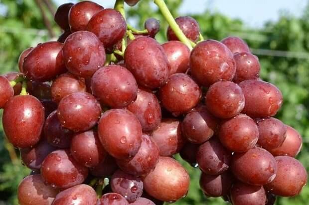 Виноград Ruby Roman, Япония