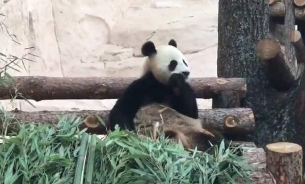 Си Цзиньпин и Путин посмотрели на панд в столичном зоопарке
