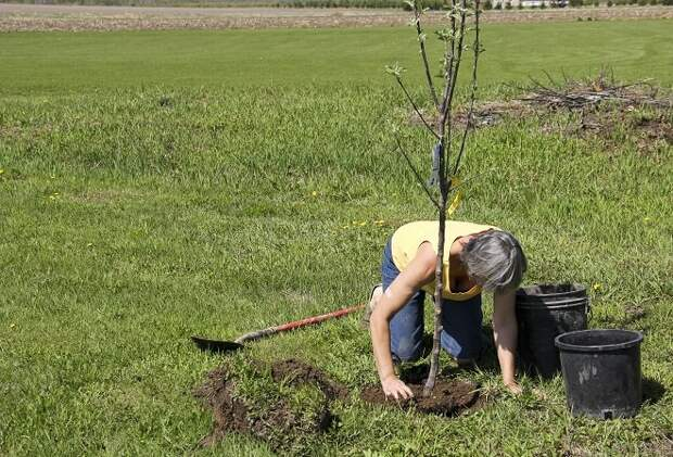 Женщина сажает дерево яблони