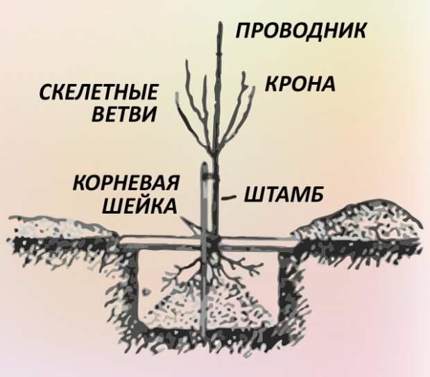 7 шагов до урожайного сада, или Все о выращивании плодовых деревьев
