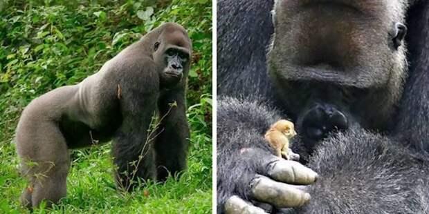 Гигантская горилла по кличке Бобо подружилась с крошечным зверьком, по прозвищу Малыш