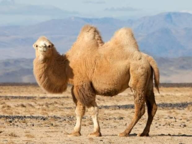 А вы знаете, зачем верблюду горб (и ещё несколько сверхспособностей)?