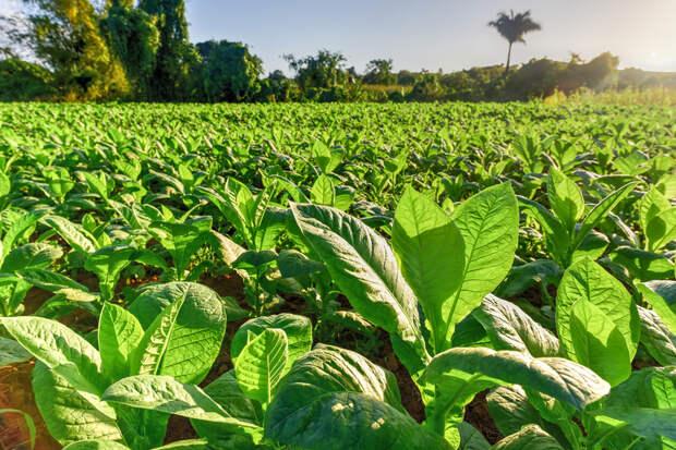 Генетики модифицировали растение табак, но все это ради здоровья