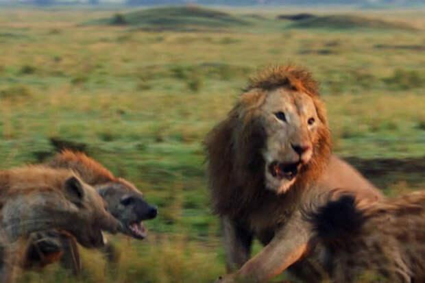Cтая гиен хотела отобрать обед у царя зверей, но на помощь пришел прайд. Видео
