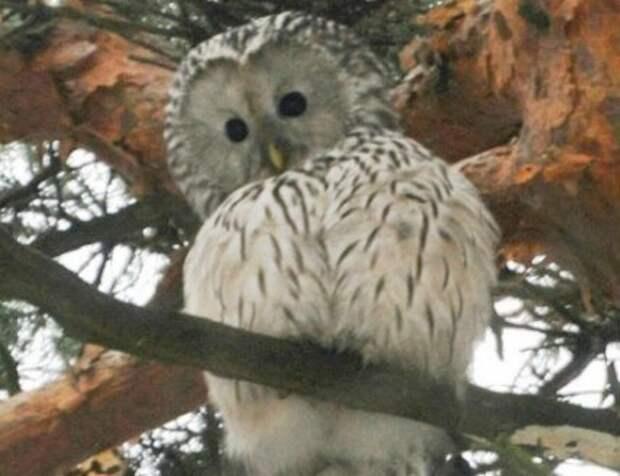 Редкая сова прилетела в парк «Покровское-Стрешнево»