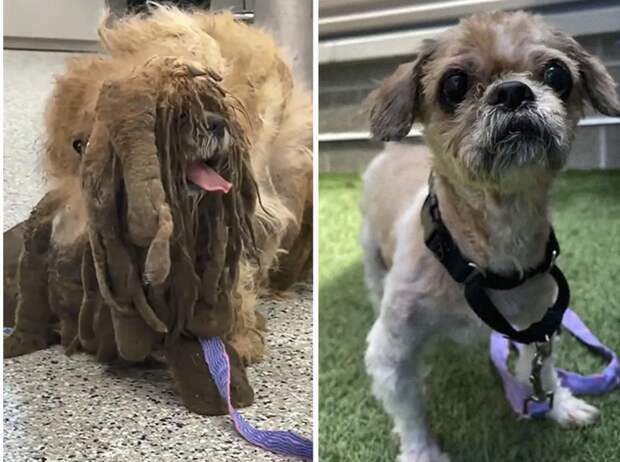 Люди нашли пса в огромных колтунах и изменили его жизнь