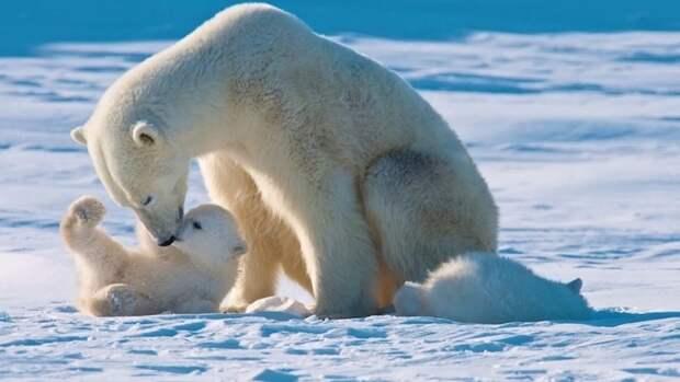 27февраля мир празднует Международный день белого медведя