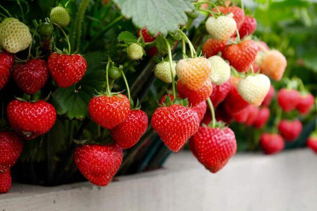 Весенняя подкормка клубники, которая завалит урожаем сладких ягод