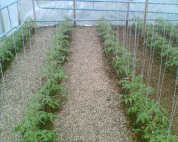 Оптимальная температура для помидор в теплице — комфортные условия для томатов