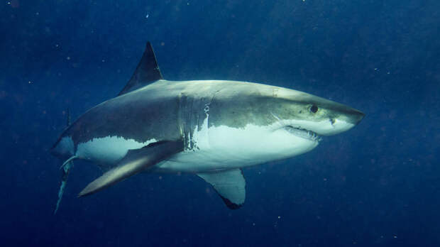 Ученые обнаружили у акул подобие GPS