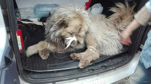 Кавказская овчарка избежала усыпления и с помощью зоозащитников нашла новую семью