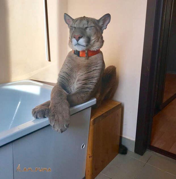 Спасенный пума Месси отказывается возвращаться в естественную среду и обожает свою жизнь избалованного кота