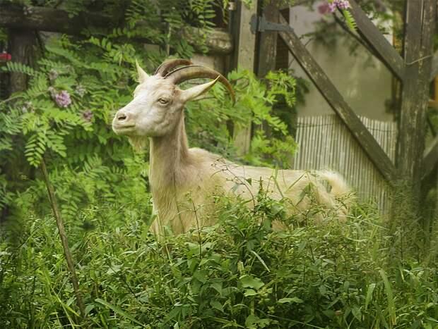 Как я свекрови козу подложила. Реальная история