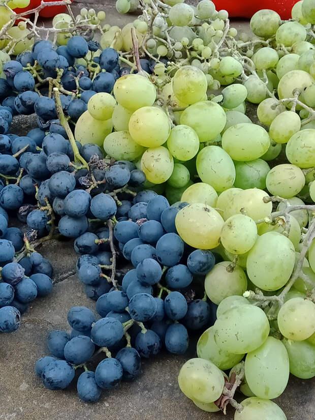 Грозди винограда Агат Донской слева, а Талисман – справа.