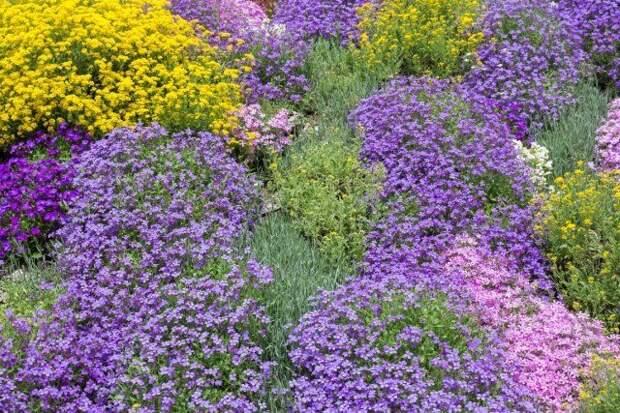 почвопокровное растение, фиолетовые цветы, луг, газон, поле