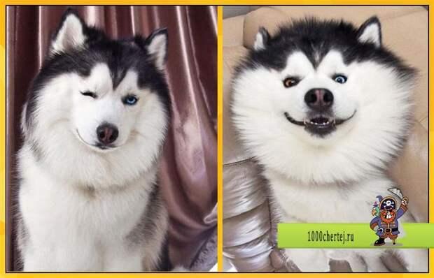20 фото доказывающих, что Хаски — самые эмоциональные собаки