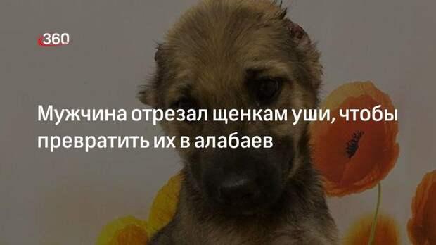 Мужчина отрезал щенкам уши, чтобы превратить их в алабаев