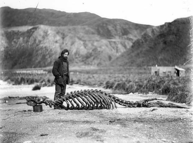 Гарольд Гамильтон и скелет морского слона, приблизительно 1912 год Австралийская антарктическая экспедиция, антарктида, исследование, мир, путешествие, фотография, экспедиция