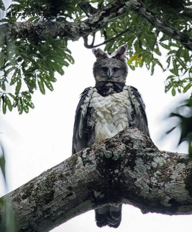 Самая удивительная птица из Южной Америки