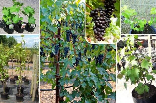 Советы эксперта: обрезка, обработка и укрытие винограда на зиму в средней полосе