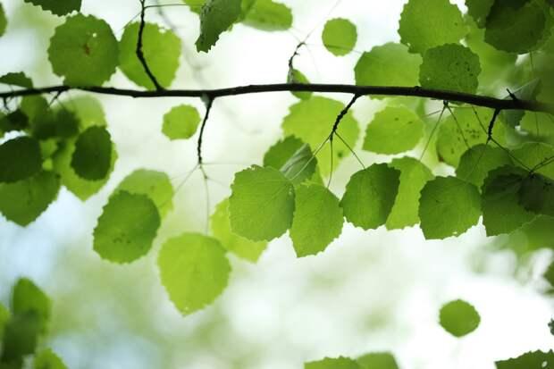 листья березы свойства