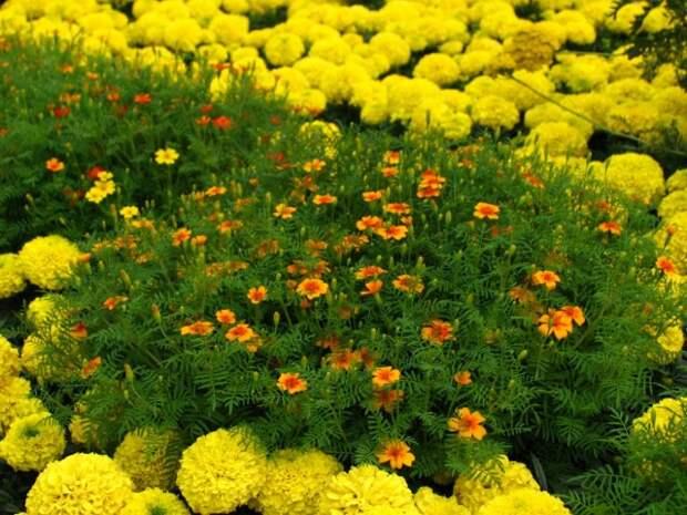 Цветник из бархатцев разных видов