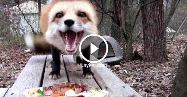 Реакция лисы на угощение
