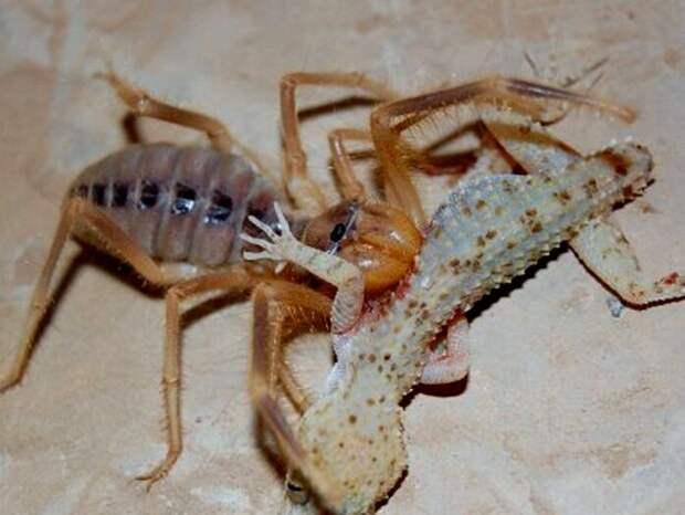 Сольпуга очень похожа на паука, потому что является им дальним родственником.