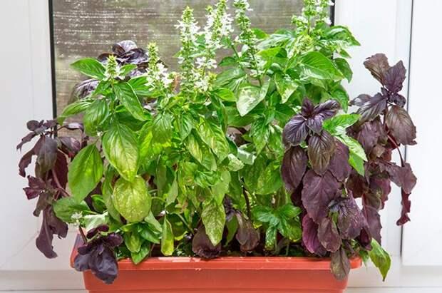 Растения едут в дом. Продлеваем огородный сезон