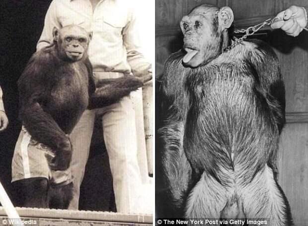В 1920-х годах в США родился гибрид человека и шимпанзе