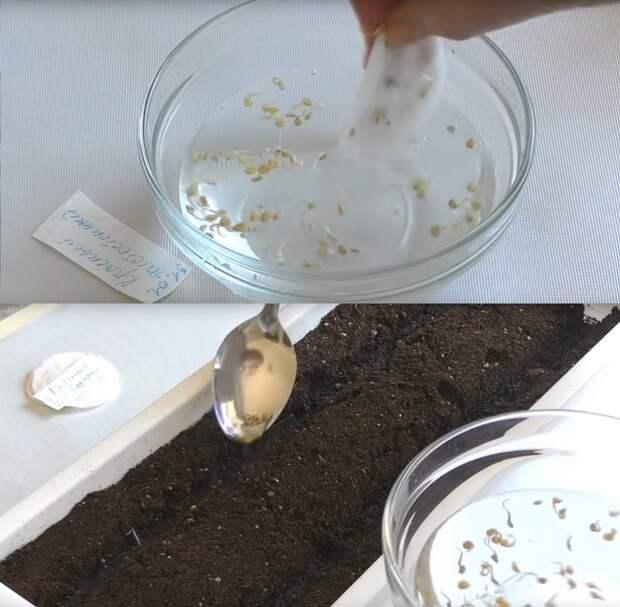 Простой, надежный и эффективный способ проращивания семян для посадки без пикировки