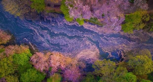 Цветение сакуры выглядит настолько волшебно, что его легко спутать с кадрами из диснеевского мультфильма