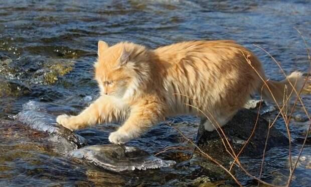 Плавательный кот
