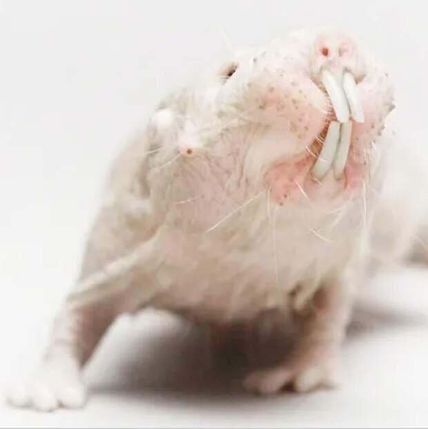 Голый землекоп: уникальное животное, которое не умеет стареть