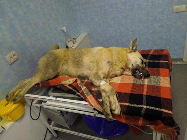 Симферополец натравил бойцовского пса на бездомную собаку