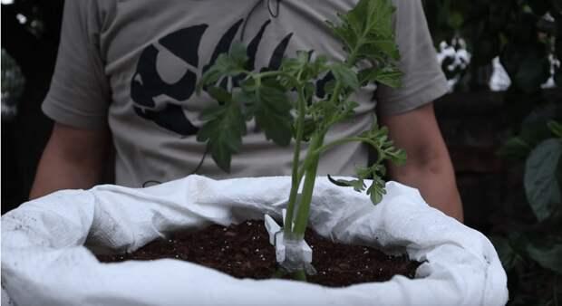 Удивительная и доступная каждому культура: как скрестить картофель и томат и получить двойной урожай на одном кусте