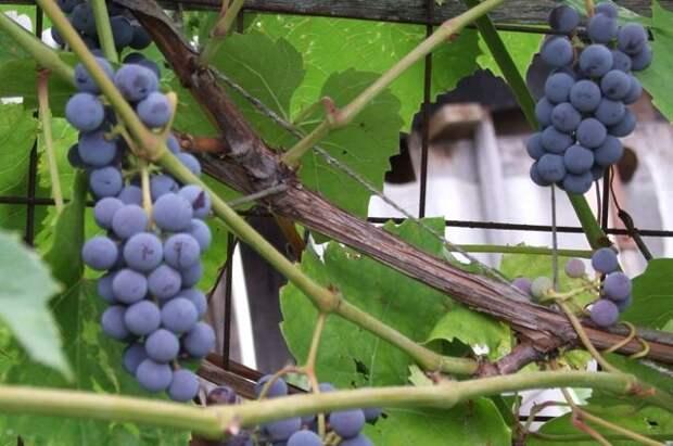 Виноград на металлической сетке.