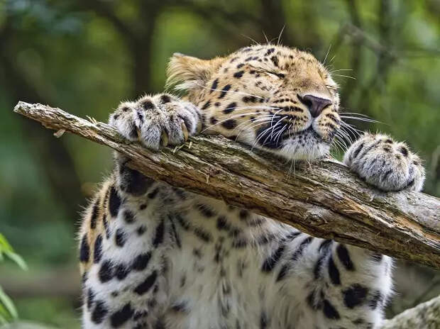 Поведение дальневосточного леопарда