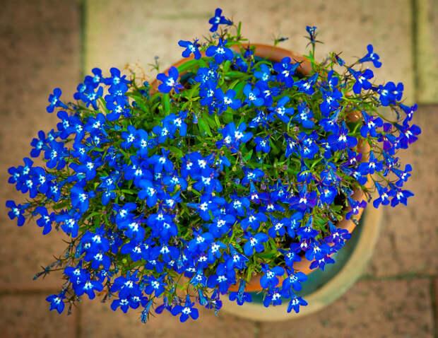 Нежная лобелия: выращивание и уход, место в саду
