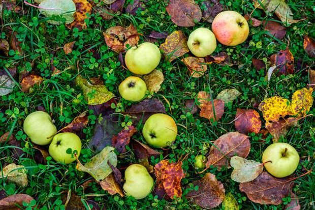 Убирая падалицу и опавшую листву, мы лишаем вредителей мест зимовки