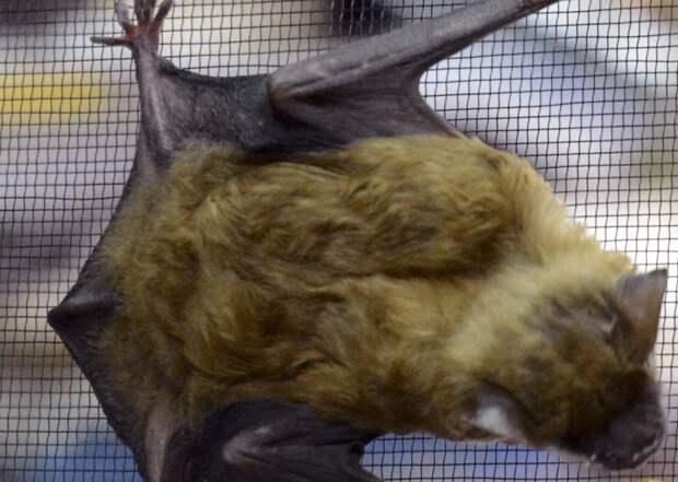 Учёные из Щукина обнаружили у летучих мышей в Сочи опасные коронавирусы