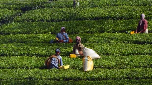 Не чая ли: бизнес предупредил о сокращении поставок индийской продукции в магазины