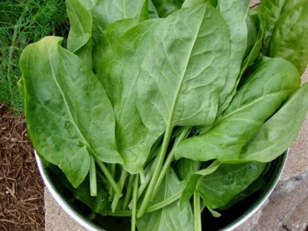 Щавель не только ранняя богатая витаминами культура, но и лекарственное растение, помогающее при многих заболеваниях