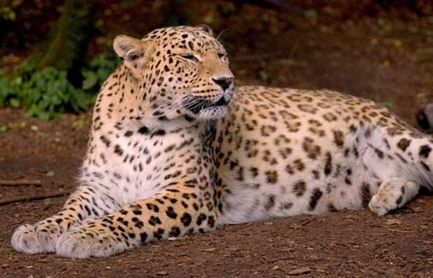 На Северном Кавказе засняли считавшегося вымершим в этих местах леопарда