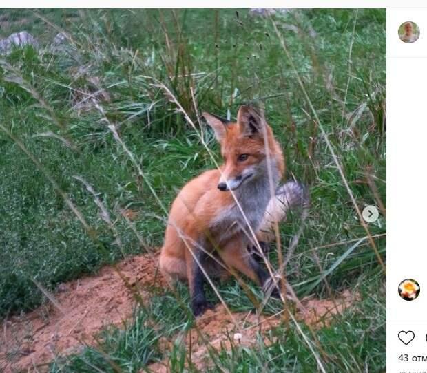 Фотограф-велосипедист встретил лису в Кузьминском парке